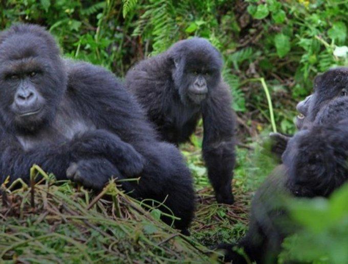 Le gorille d'Ouganda