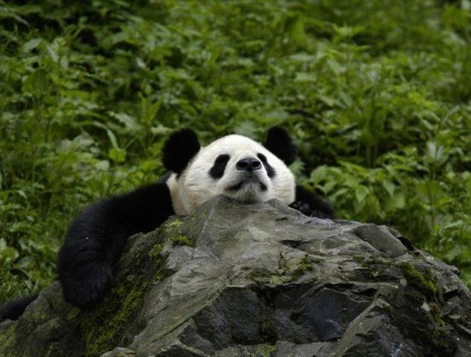 Le panda de Chine
