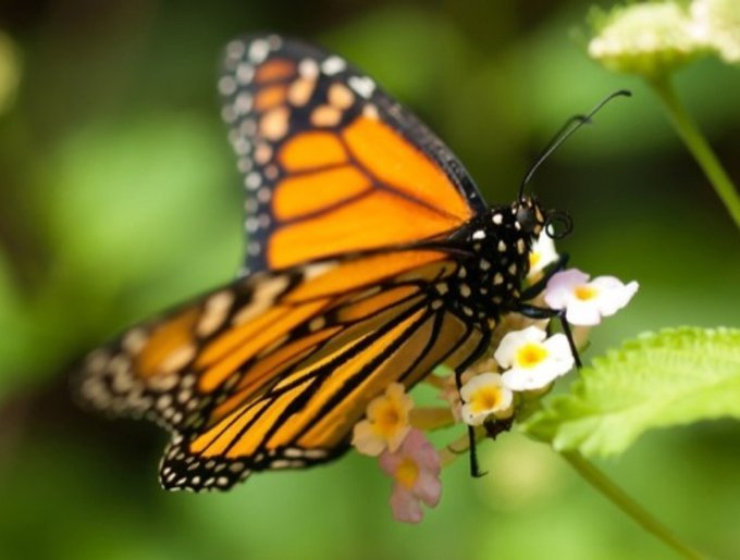 Le papillon du Mexique