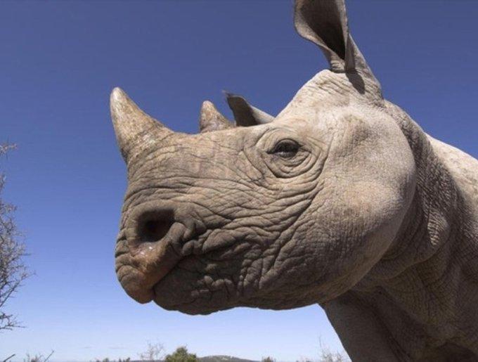 Le rhinocéros d'Afrique du Sud