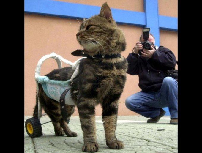 chatte handicapée en fauteuil roulant