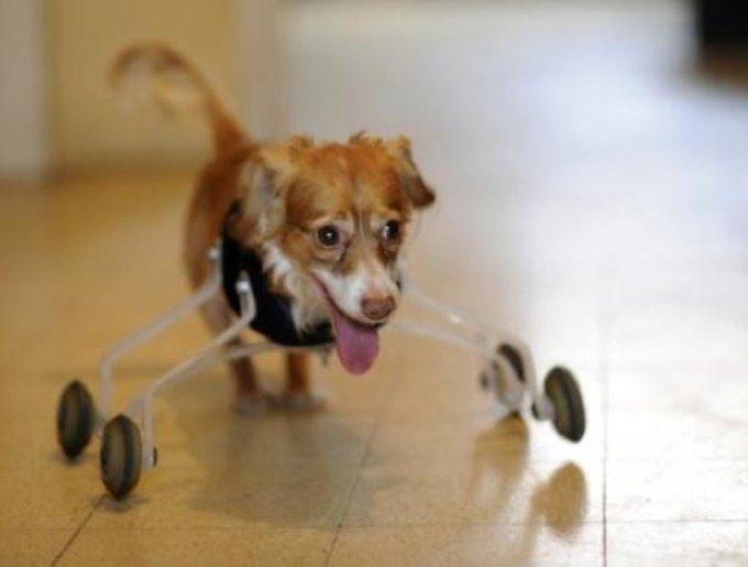 chien handicapé en fauteuil roulant