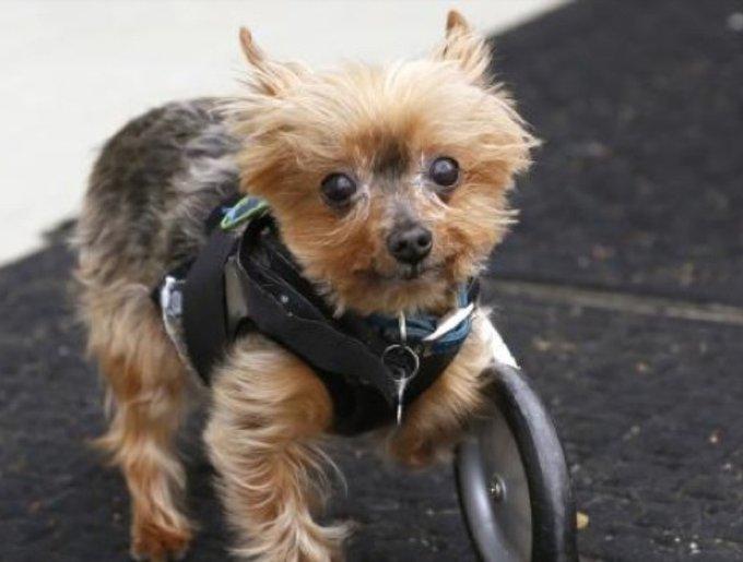 Yorkshire en fauteuil roulant