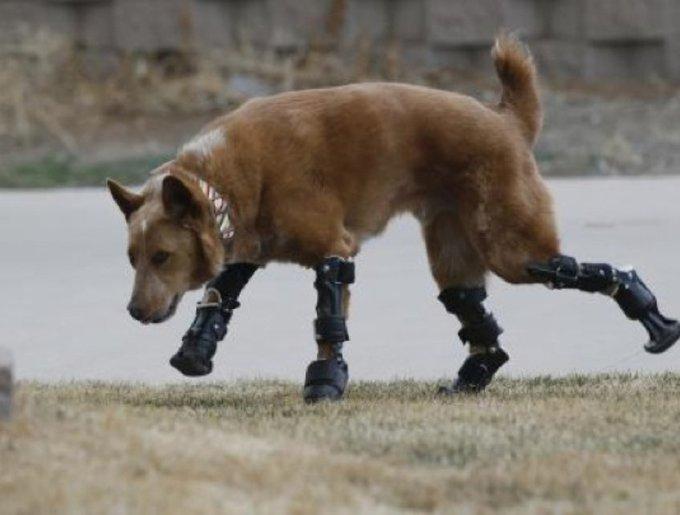 chien avec des prothèses