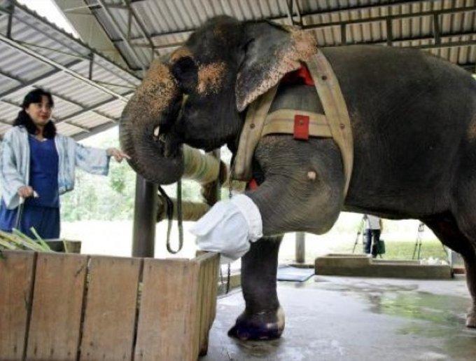 Elephant handicapé avec une prothèse à la patte