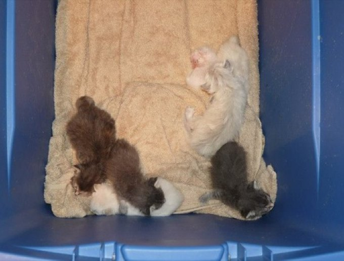 des chatons maigres