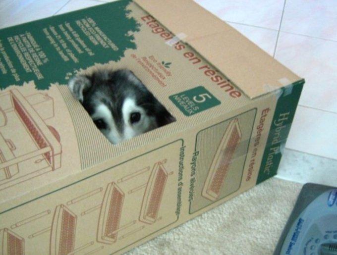 un husky qui se comporte comme un chat dans un carton