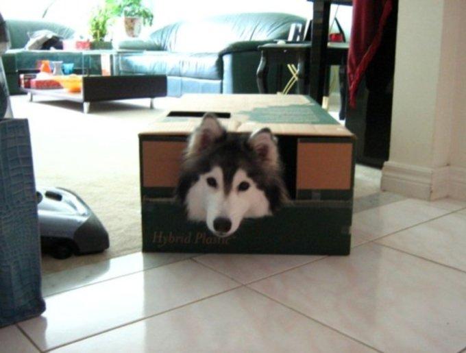 un husky qui se comporte comme un chat, dans un carton
