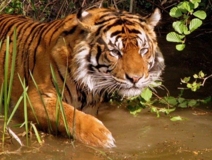 Le tigre d'Inde