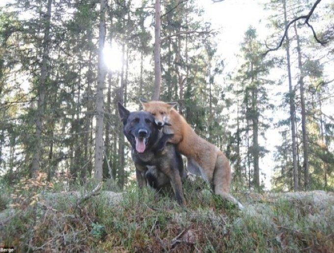 L'amitié entre un chat et un renard