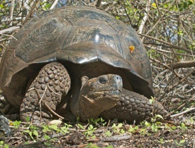 La tortue des îles Galapagos