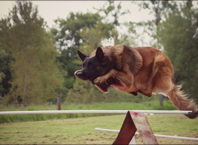 Eiko de Kerprigent le chien sportif