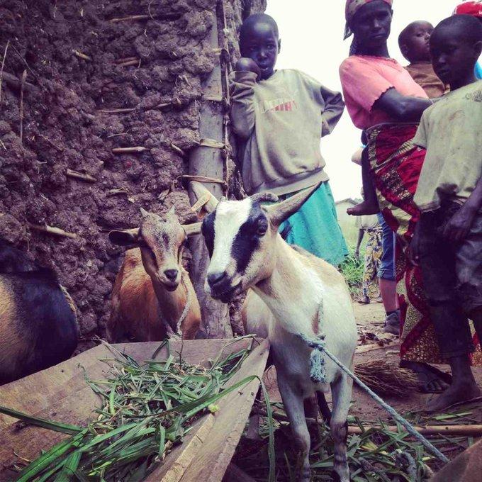 les chèvres en afrique
