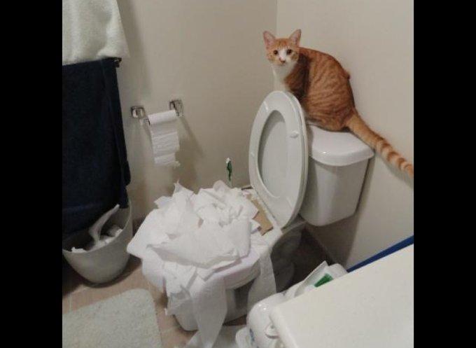 chat qui met le bazar aux wc