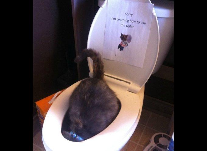 chat qui a la tête dans les WC