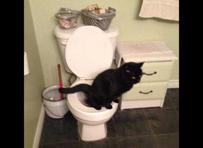 Chat qui fait ses besoins dans les WC