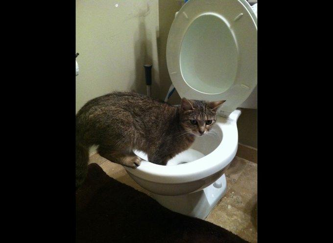 Chat qui se trempe dans les WC