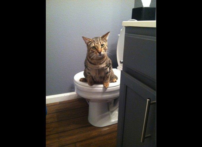Un chat qui fait ses besoins dans les wc