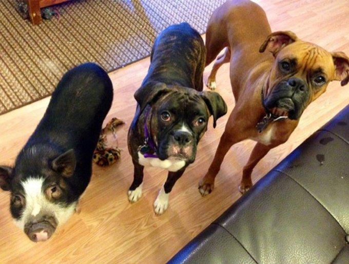 Un cochon avec ses amis les chiens