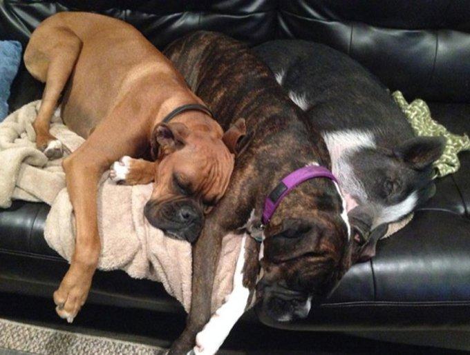Un cochon dort avec ses amis les chiens