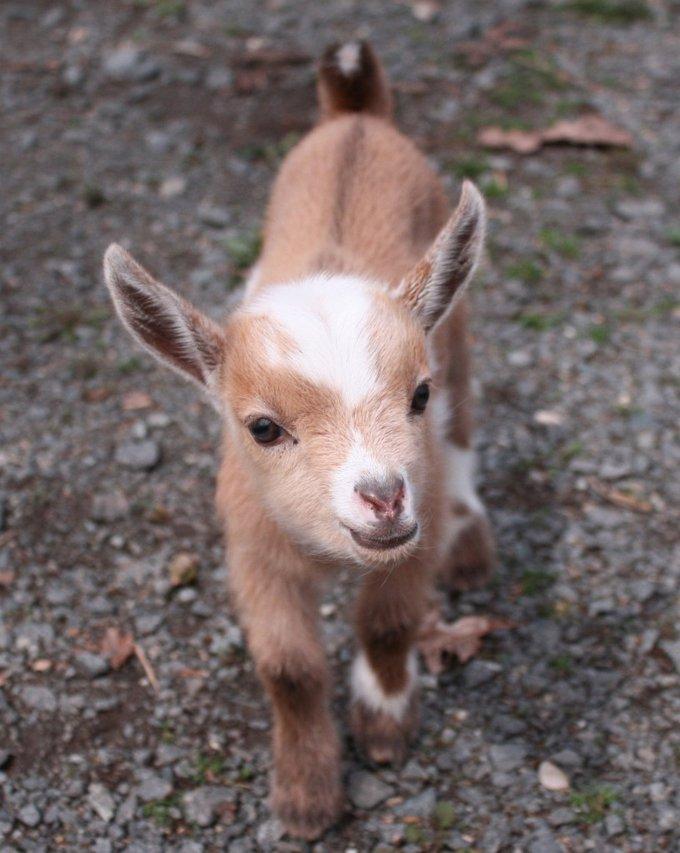 blog_yummypets_goat1_06_14