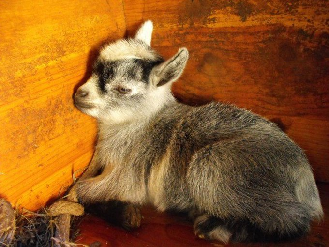 blog_yummypets_goat4_06_14
