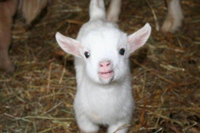 blog_yummypets_goat7_06_14
