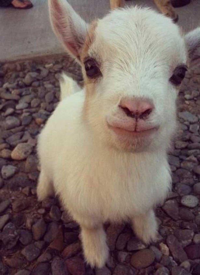 blog_yummypets_goat8_06_14