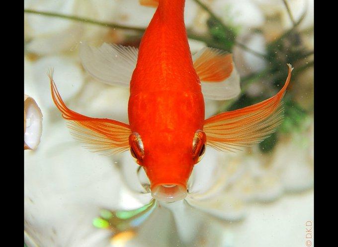 Orphi, un poisson rouge