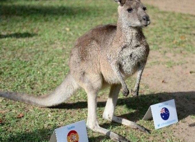 un kangourou pronostic les équipes de football