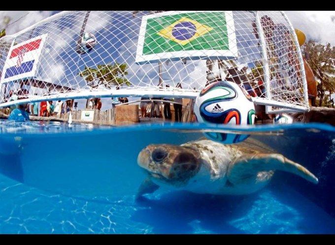 une tortue pronostic les équipes de football