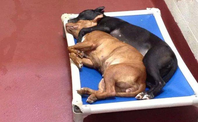 Les deux chiennes fusionnelles