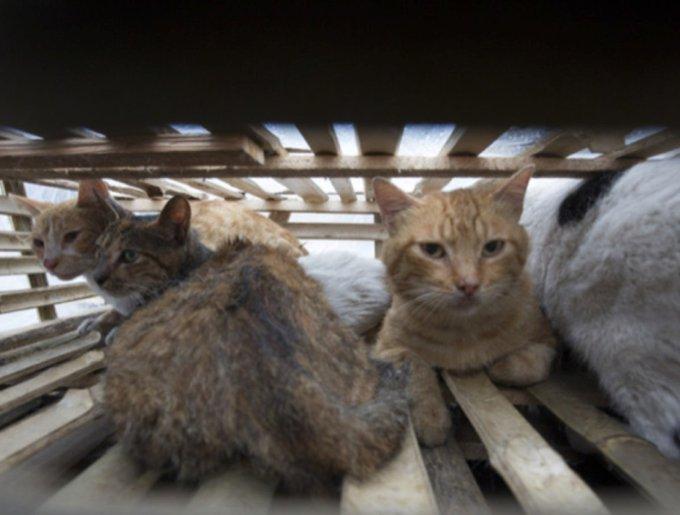 Des chats enfermés dans une cages
