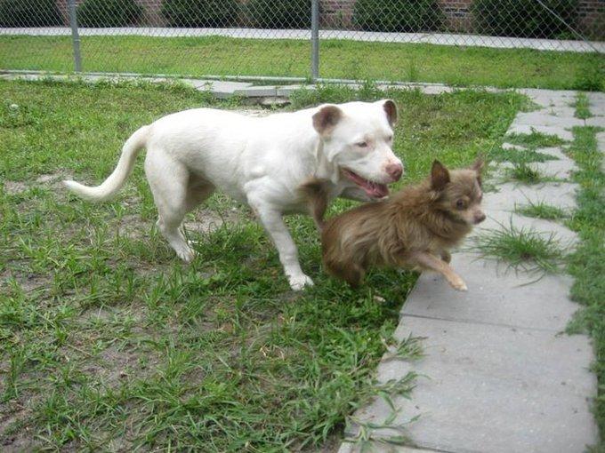 blog_yummypets_pitbull_chihuahua1_07_14