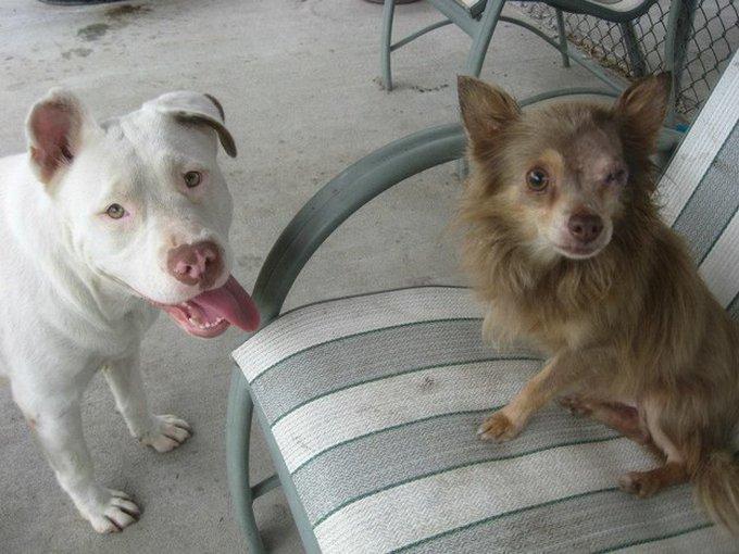 blog_yummypets_pitbull_chihuahua2_07_14