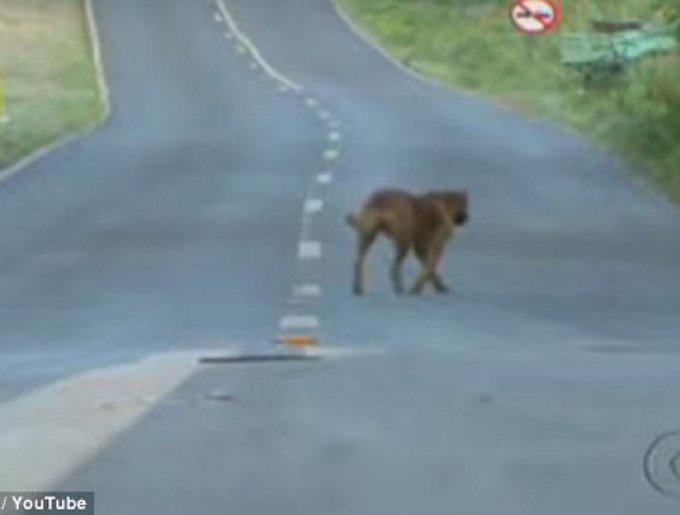 Lilica, la chienne qui parcourt 12 kms chaque jour