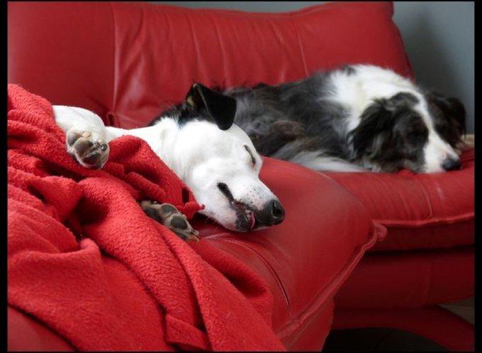 Deux chiens fainéants sur le canapé