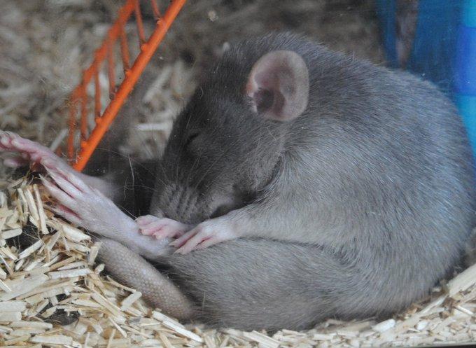 en flagrant délit de fainéantise, un rat !