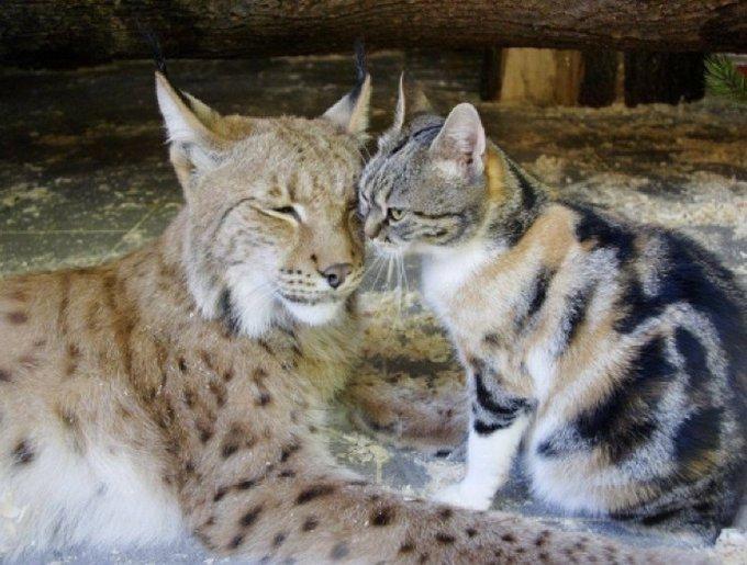 Le chat et le lynx amis