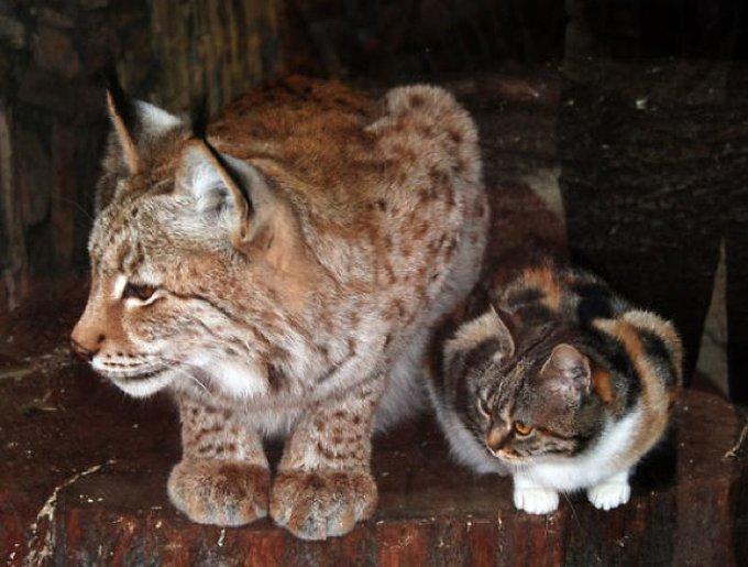 Le chat et le lynx meilleurs amis