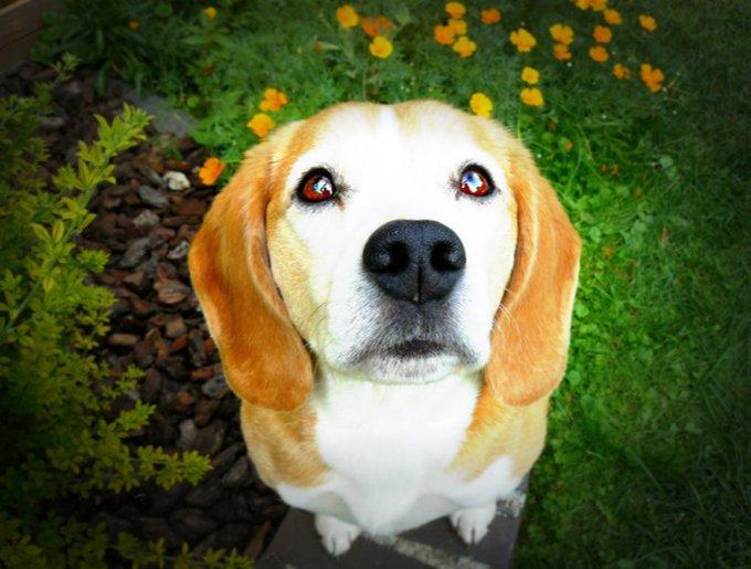 Betzi, un beagle sur Yummypets