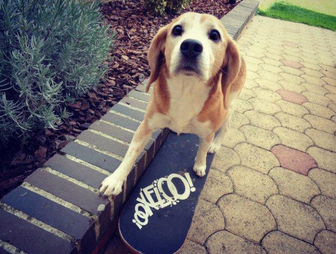 Betzi, un beagle sur Yummypets qui skate