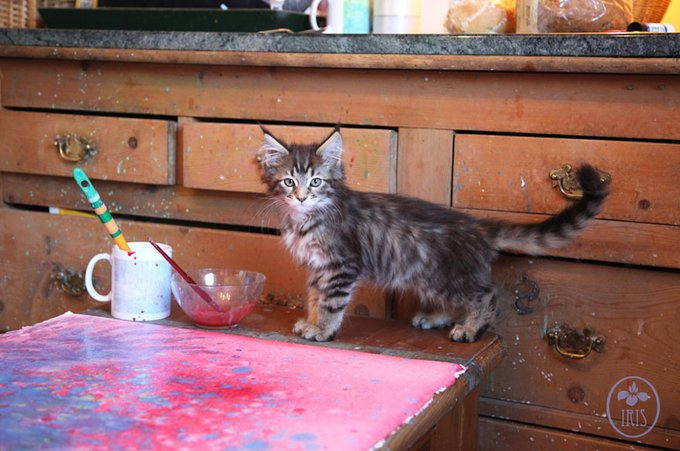 blog_yummypets_thula_maine_coon_chat_therapeutique_10_2014_4