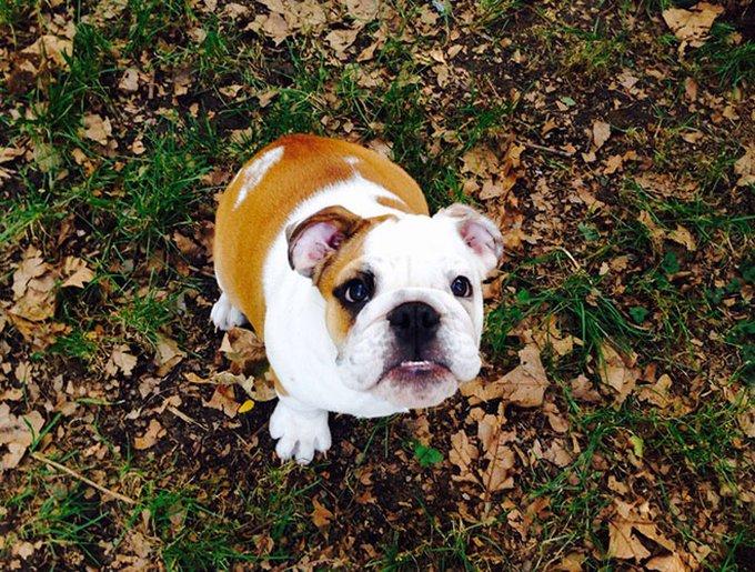 bulldog inglés cariñoso