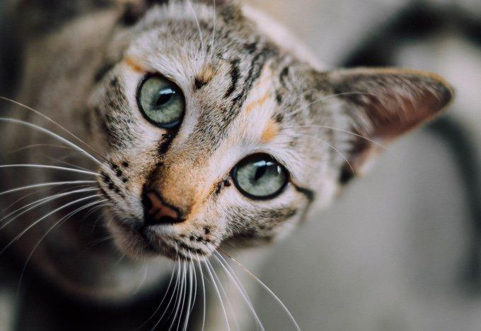 chat qui regarde la caméra