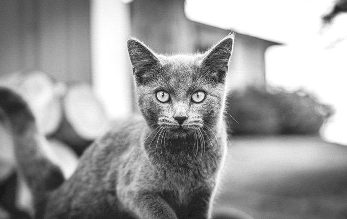 chat qui regarde la caméra noir et blanc