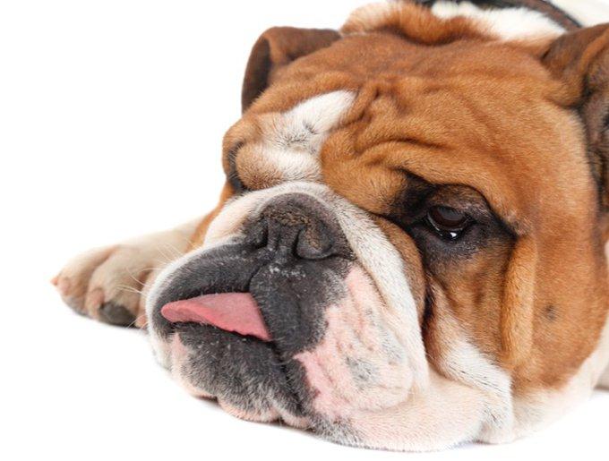 blog_yummypets_choisir_son_bulldog_anglais_03_2015_1