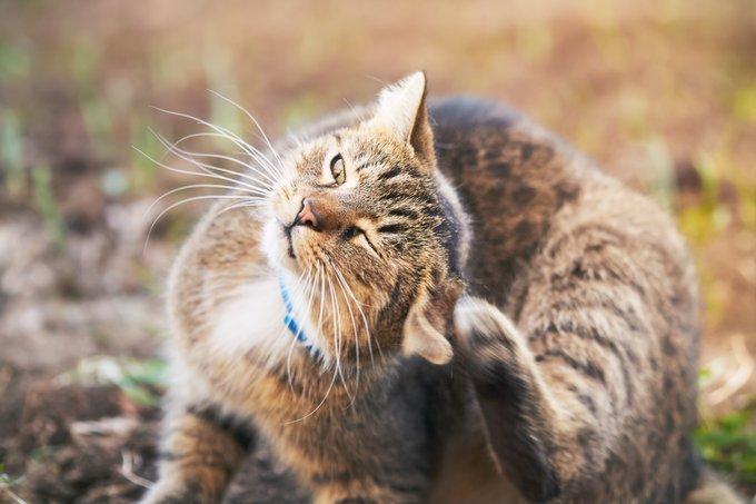 La gale des oreilles du chat.