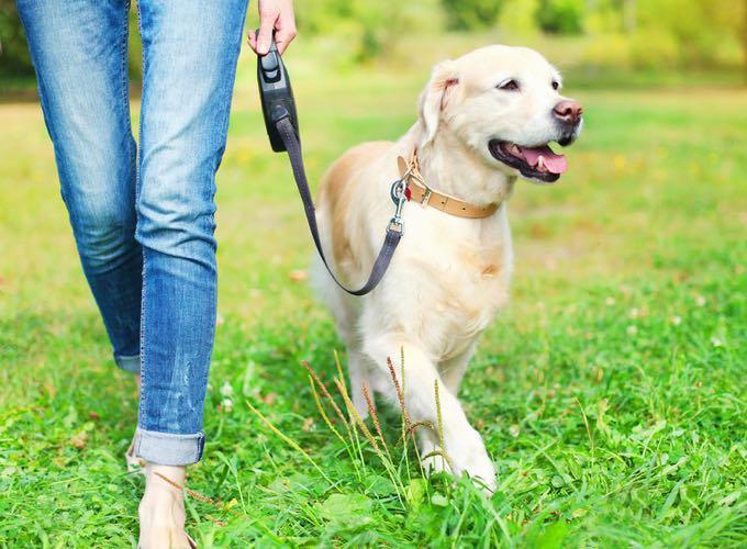 chien labrador balade laisse