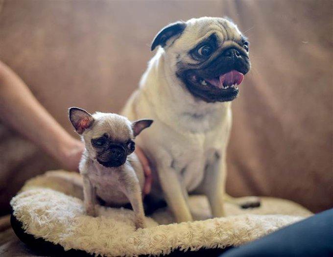 Pig, le plus petit chien du monde